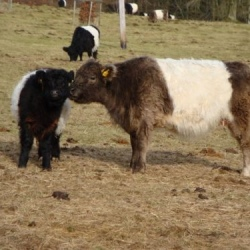 Belted Galloway cattle at Crickley Hill
